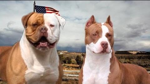 American pitbull terrier vs american bulldog