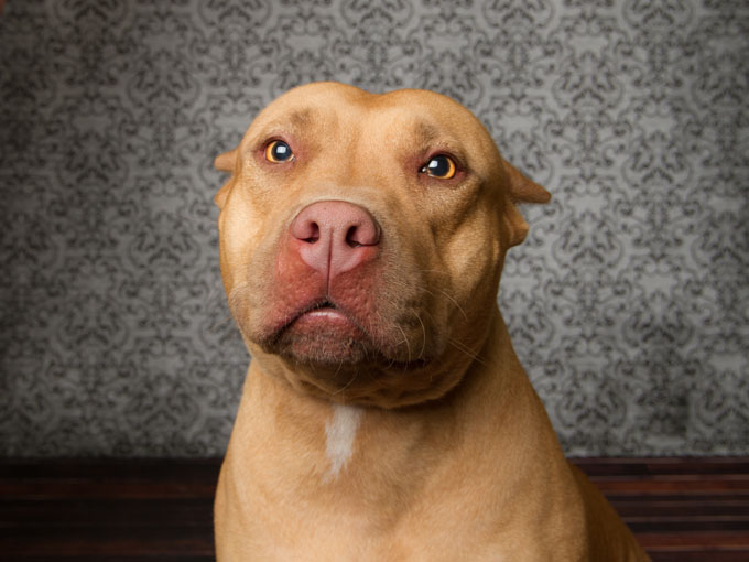 American pitbull terrier weight