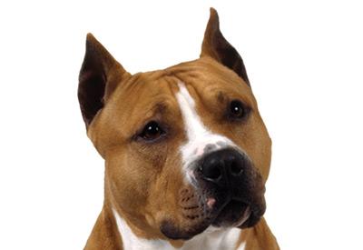 American staffordshire terrier pitbull