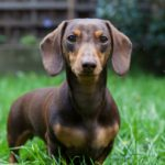 Average weight female miniature Dachshund