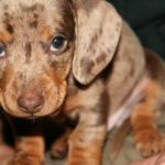 Average weight for a miniature Dachshund