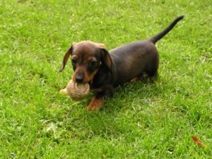 Average weight miniature Dachshund puppy