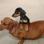 Average weight of mini Dachshund