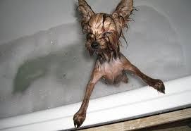 Bathing yorkshire terrier
