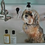 Bathing your yorkshire terrier