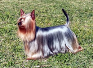 Best shampoo and conditioner for yorkshire terriers