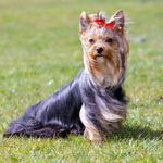Best way to potty train a Yorkshire Terrier