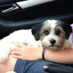 Biewer yorkshire terrier charakter