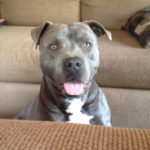 Blue american pitbull terrier names