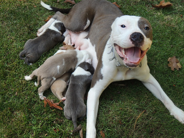 Blue Nose Brindle American Pitbull Terrier 1001doggycom