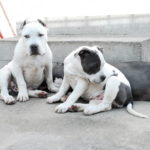 Blue nose american Pitbull Terrier puppies for sale