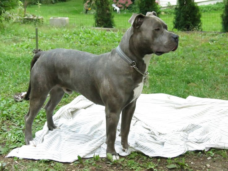 Blue nose brindle american Pitbull Terrier