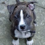 Boston terrier pitbull