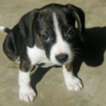 Boston terrier pitbull mix for sale