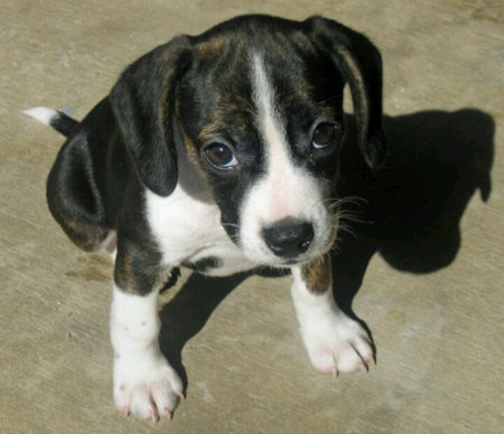 Boston terrier pitbull mix for sale