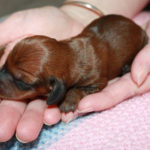 Care Dachshund puppies after birth