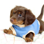Caring for a Dachshund puppy