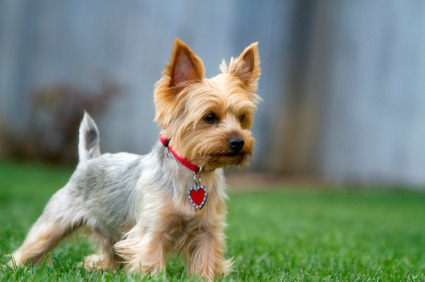 Characteristics of a yorkshire terrier
