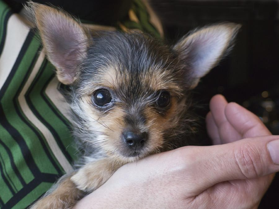 Chihuahua and yorkshire terrier cross