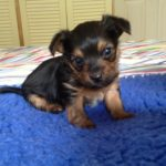 Chihuahua cross yorkshire terrier puppies for sale