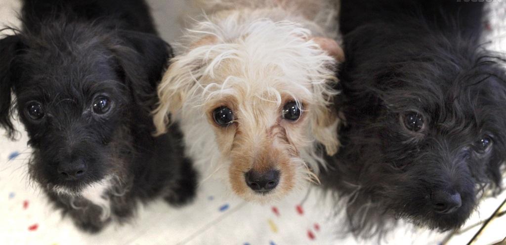 Chihuahua Dachshund poodle mix