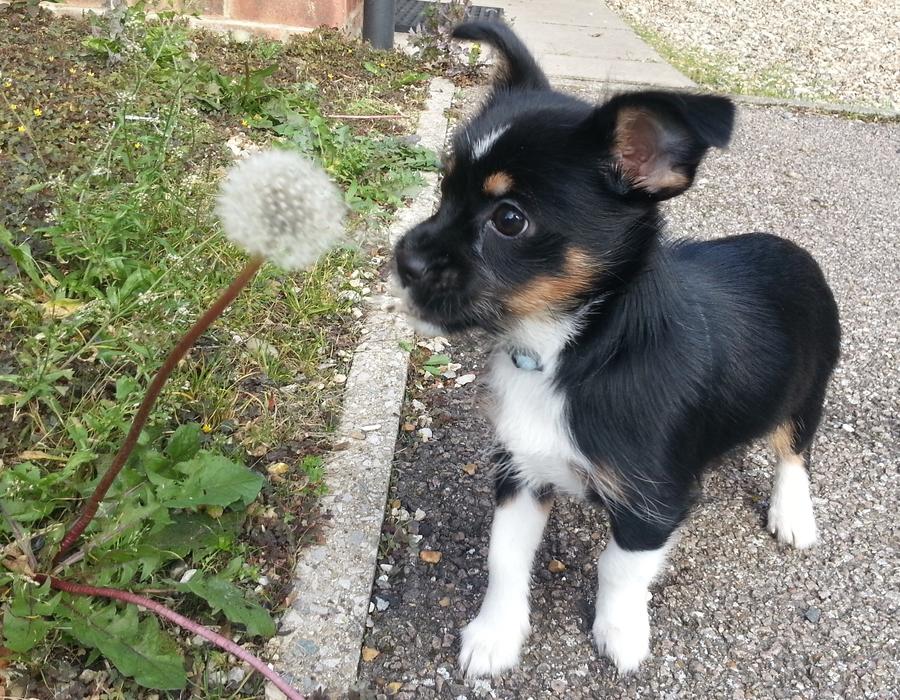 Boston Terrier Dog Breed Information  Vetstreet