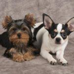 Chihuahua vs yorkshire terrier