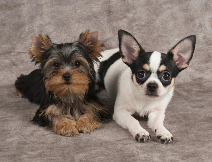 Chihuahua Vs Yorkshire Terrier 1001doggy Com