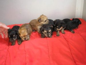Chihuahua x yorkshire terrier for sale