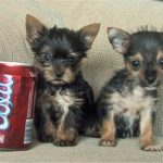 Chihuahua yorkshire terrier mix puppies
