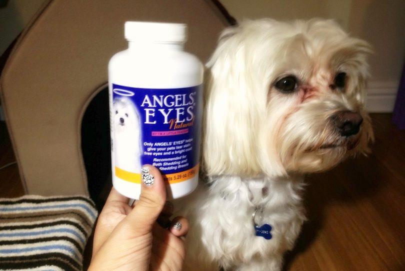 Cleaning yorkshir terrier eyes
