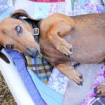 Common skin diseases in Dachshunds