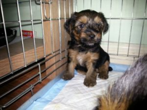 Crate training yorkshire terrier puppy