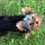 Cute yorkshire terrier names