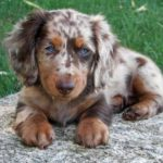 Dachshund and Dalmatian mix