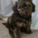 Dachshund and poodle mix for sale