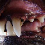 Dachshund canine teeth problems