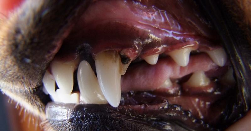 how to fix dog dental problems