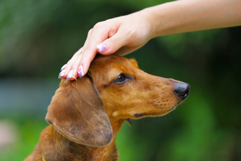 Dachshund care information