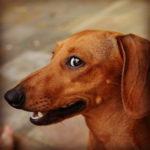 Dachshund chattering teeth