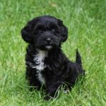 Dachshund cross poodle for sale