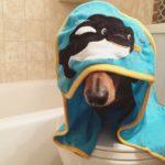Dachshund dog shampoo