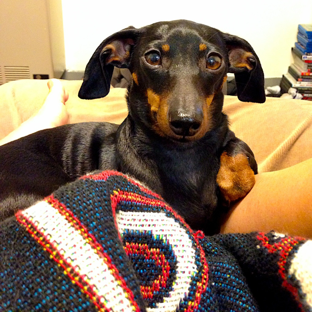 Dachshund ears folded