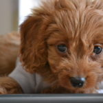 Dachshund poodle mix for sale