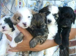 Dachshund poodle mix puppies for sale