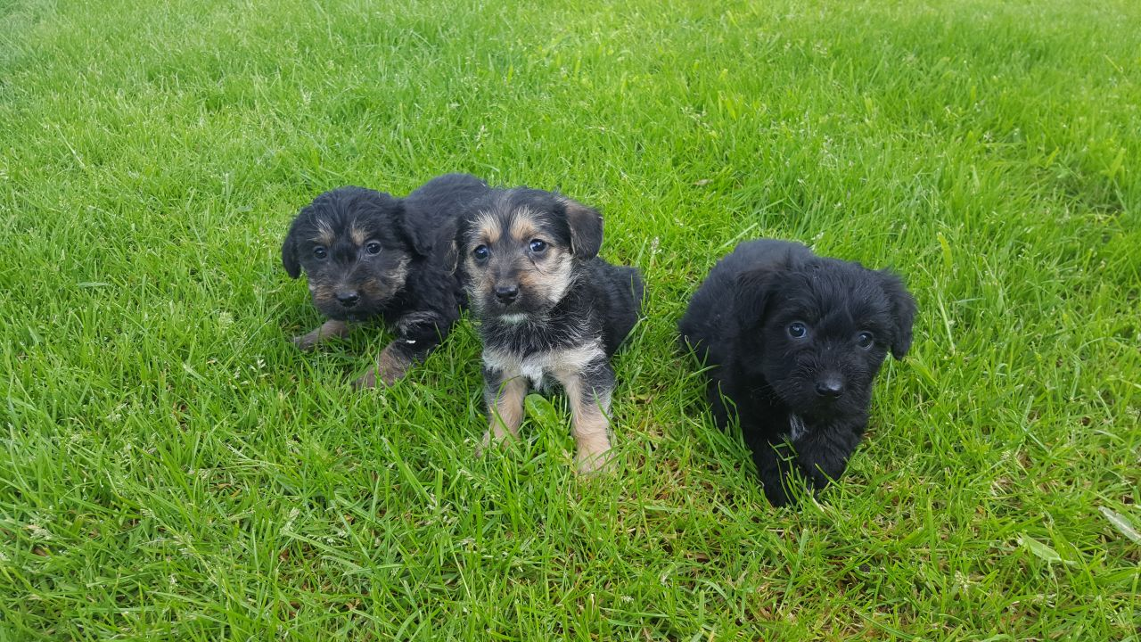 Dachshund poodle mix puppies
