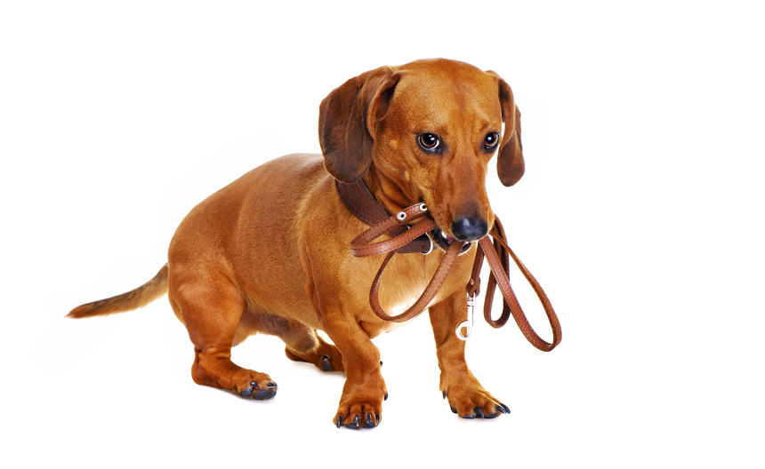 Dachshund potty training tips