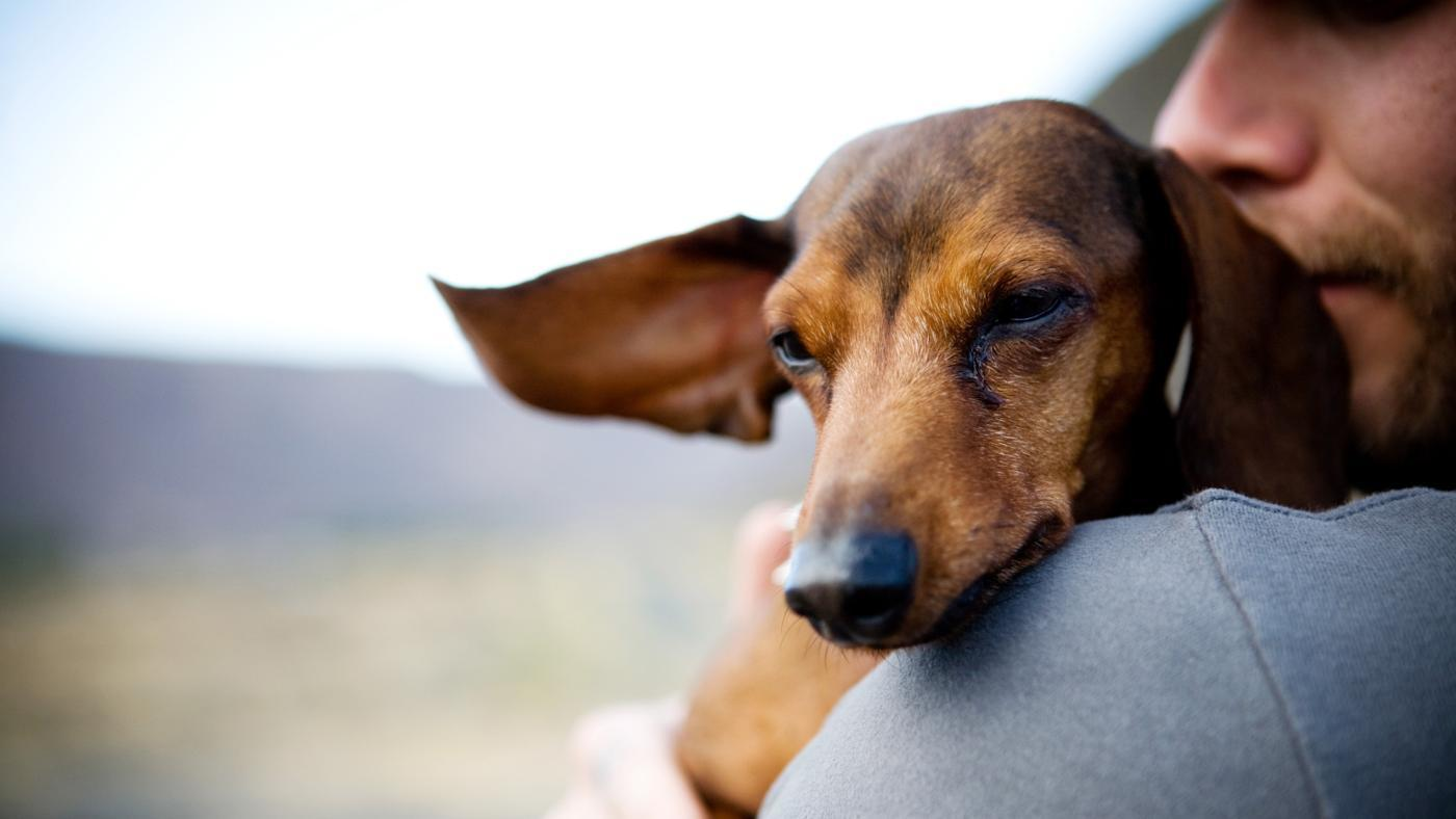 Dachshund pregnancy care