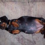 Dachshund pregnancy week by week