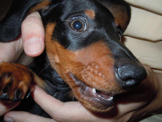 Dachshund puppies baby teeth